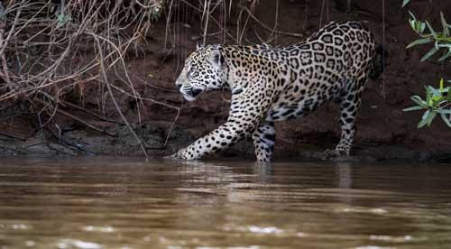 JaguarBrazilBlog