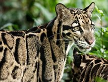 Tiger Clouded Leopard